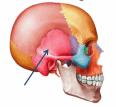 tengkorak kepala manusia